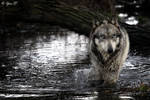 gray wolf river