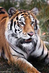 tiger by Yair-Leibovich