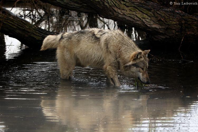 fishing wolf by Yair-Leibovich