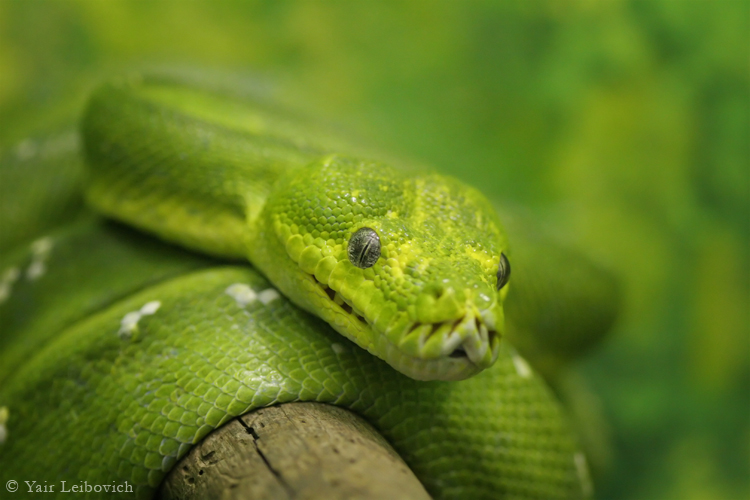 green tree python by Yair-Leibovich