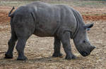 young rhino by Yair-Leibovich