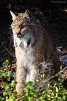 Focusing lynx by Yair-Leibovich