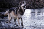 wolf acting surprised
