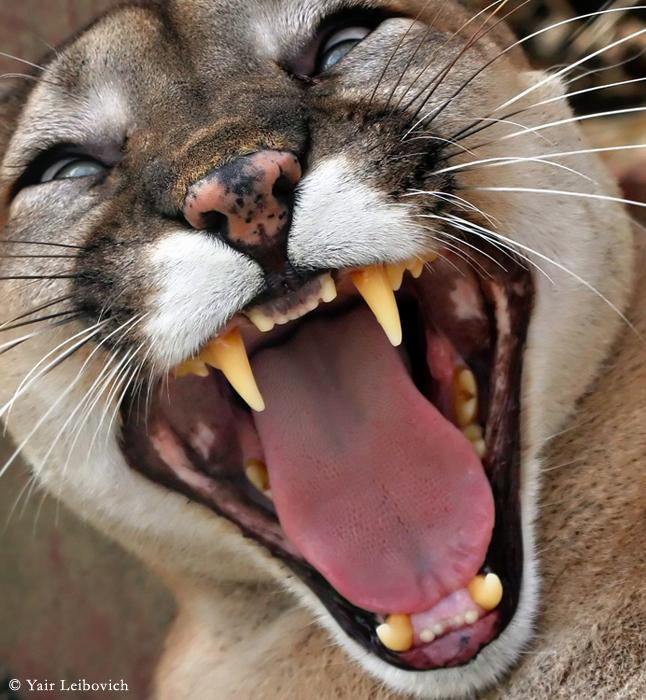 cougar encounter by Yair-Leibovich