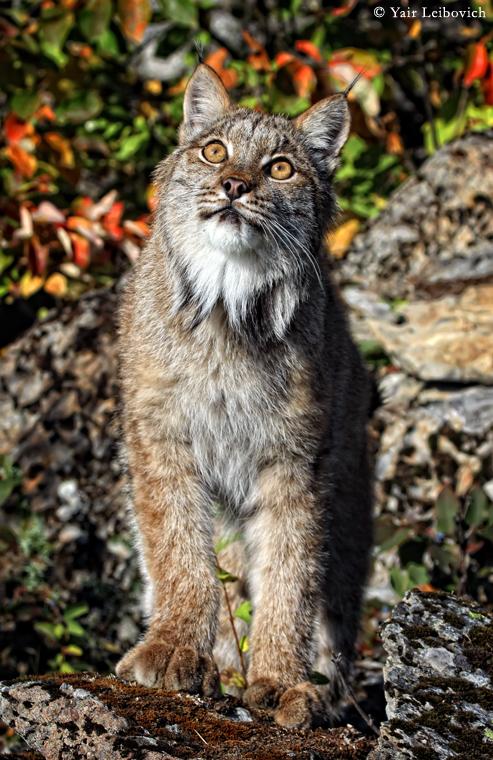 wondering lynx by Yair-Leibovich