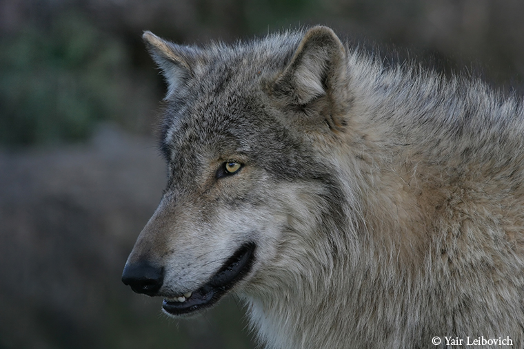 Grey Wolf portrait by Yair-Leibovich