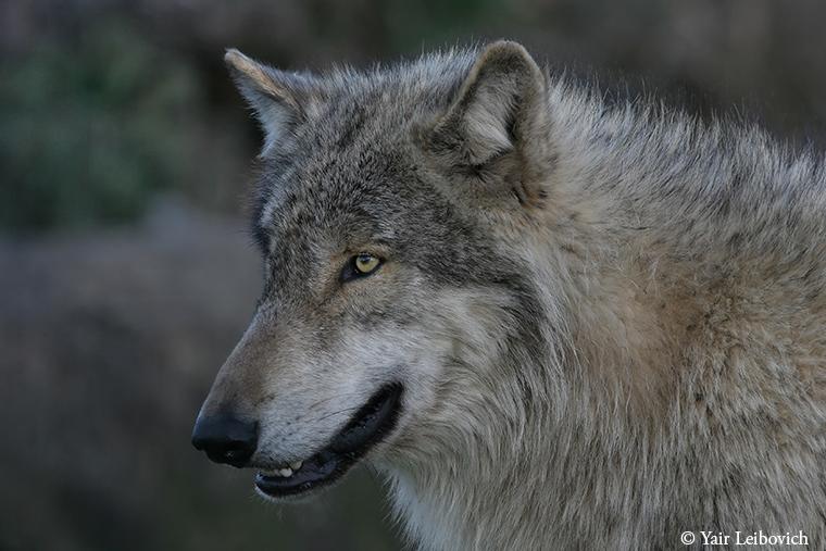 Grey Wolf portrait by Yair-Leibovich