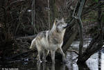 wolf in muddy waters