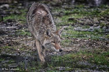 stalking coyote by Yair-Leibovich