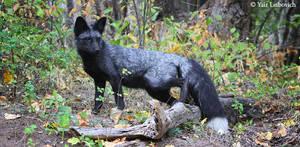 silver-phase fox