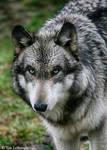 wet wolf portrait