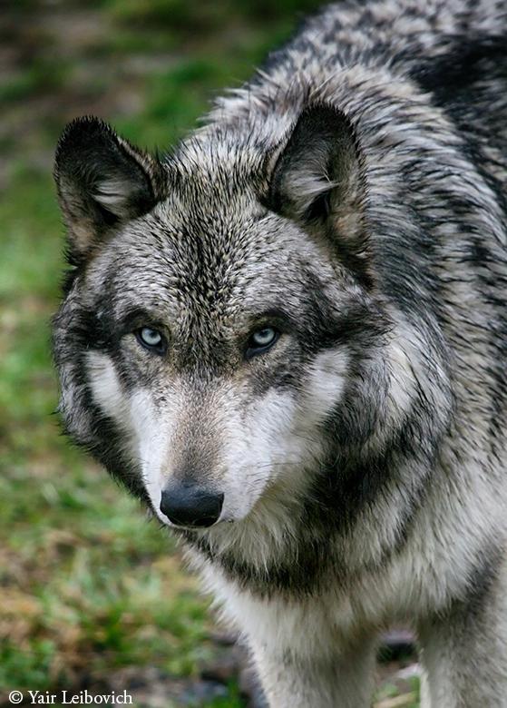 wet wolf portrait by Yair-Leibovich