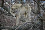 wolf balancing act 2