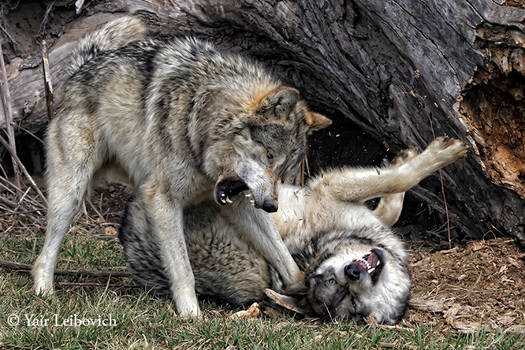 Wolves Explosion