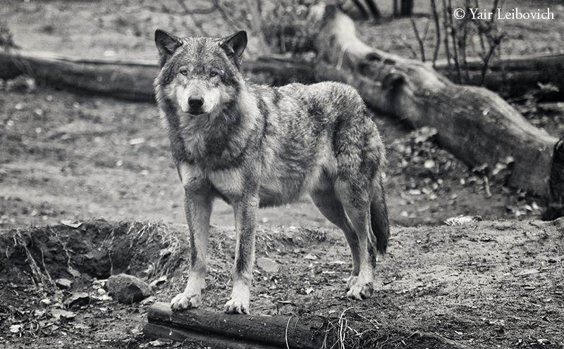 Eurasian wolf by Yair-Leibovich