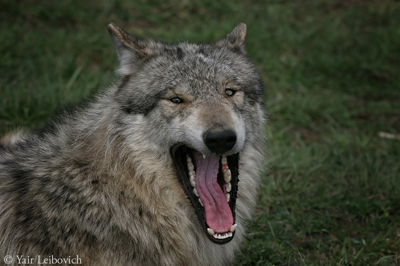 Laughing wolf by Yair-Leibovich