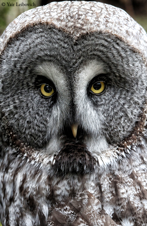 great gray owl by Yair-Leibovich