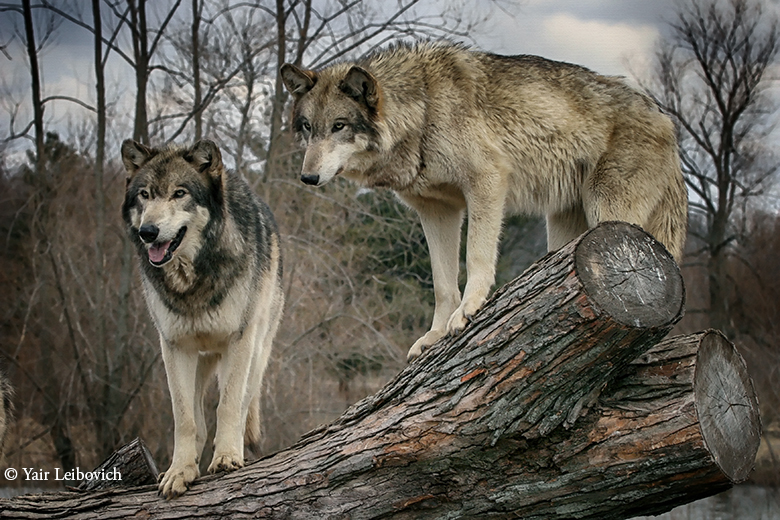 wolf couple by Yair-Leibovich