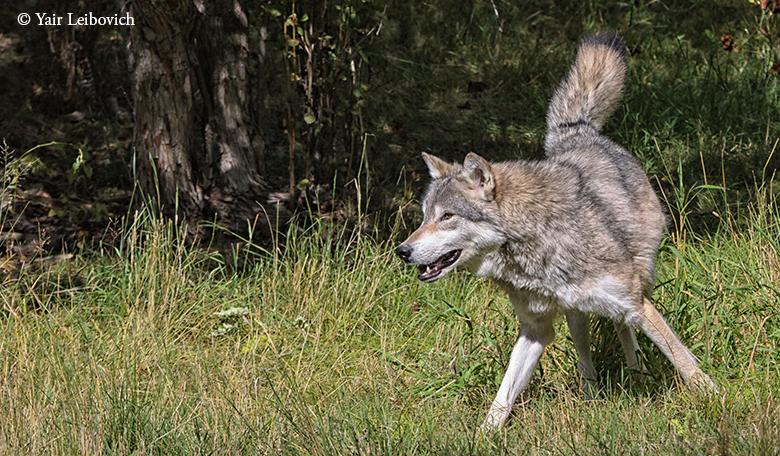 Flexible wolf by Yair-Leibovich