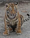 tiger cub 2
