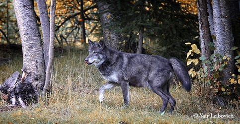 THE NOBLE WOLF