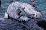 wolf on a log by Yair-Leibovich