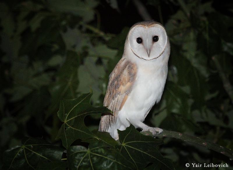 barn owl by Yair-Leibovich