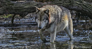 crossing wolf by Yair-Leibovich