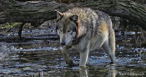 crossing wolf