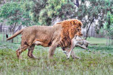 LION KILL by Yair-Leibovich