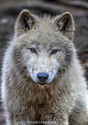 Arctic Wolf  V2 by Yair-Leibovich