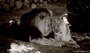 VALENTINE LIONS by Yair-Leibovich