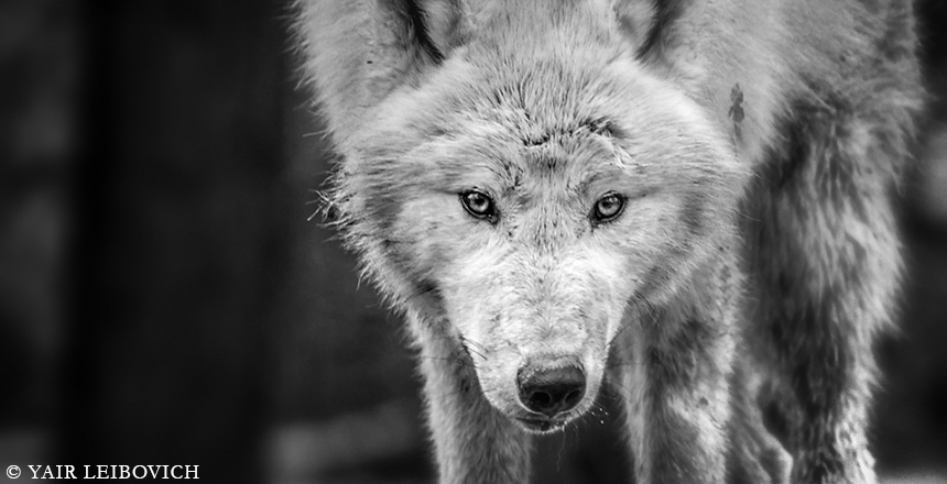 arctic stare by Yair-Leibovich