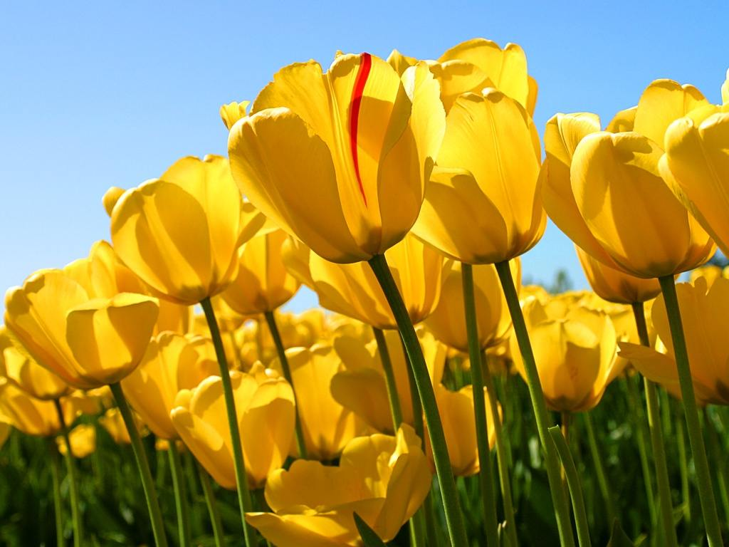 Yellow Tulips by japangay