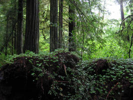 Redwood Forest 7 by Cynnalia-Stock