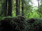 Redwood Forest 7
