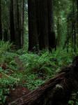 Redwood Forest 8