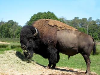 Bison by Cynnalia-Stock