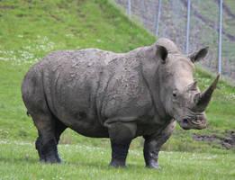 Rhino 1 by Cynnalia-Stock