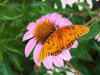 Butterfly on Pink Flower by Jennifurret
