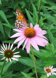 Butterfly on Pink Flower II by Jennifurret