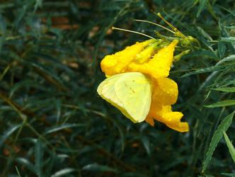 Yellow Butterfly by Jennifurret