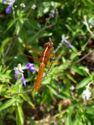Golden Dragonfly by Jennifurret