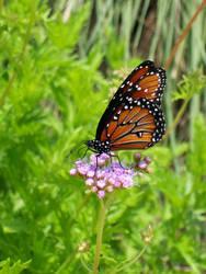 Orange Butterfly I by Jennifurret