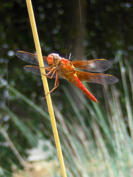 Red Dragonfly in Rain