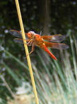 Red Dragonfly in Rain by Jennifurret
