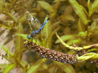 Blue Dragonfly by Jennifurret