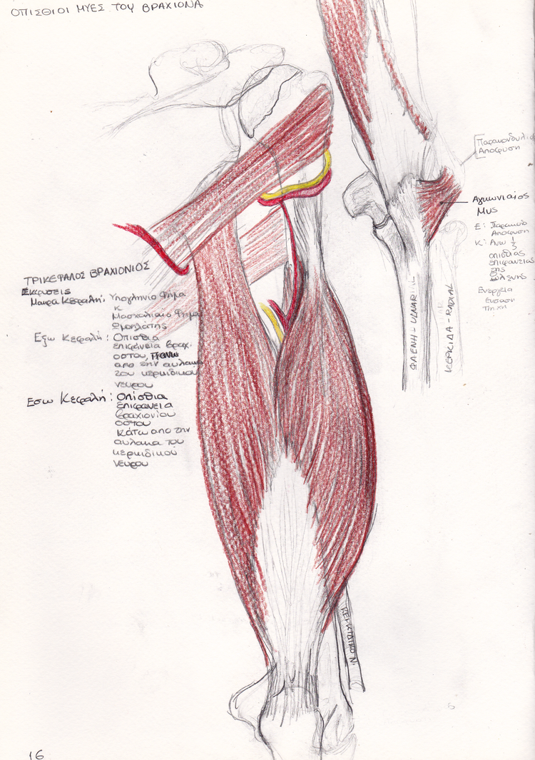 Old Anatomy Notes Triceps Brachii Muscle By Ilumvardi Dragon On