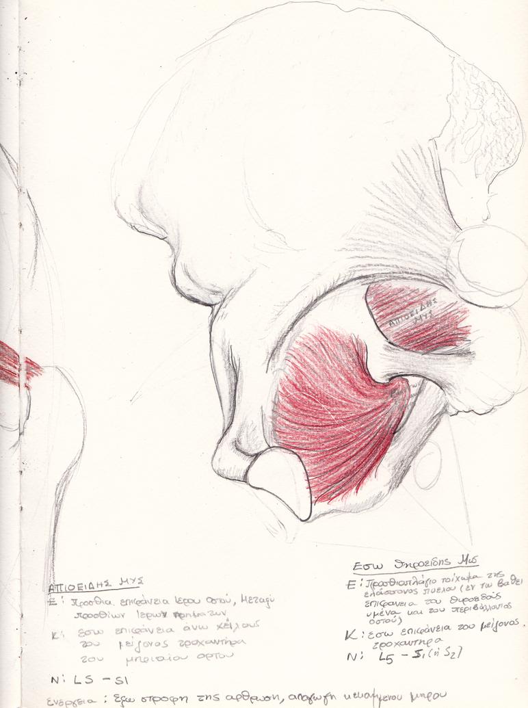 Old Anatomy Notes Pelvic Muscles By Ilumvardi Dragon On Deviantart