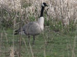 Canada Goose by TaionaFan369